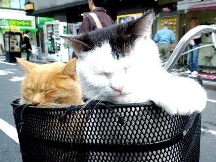 cat_okachimachi001
